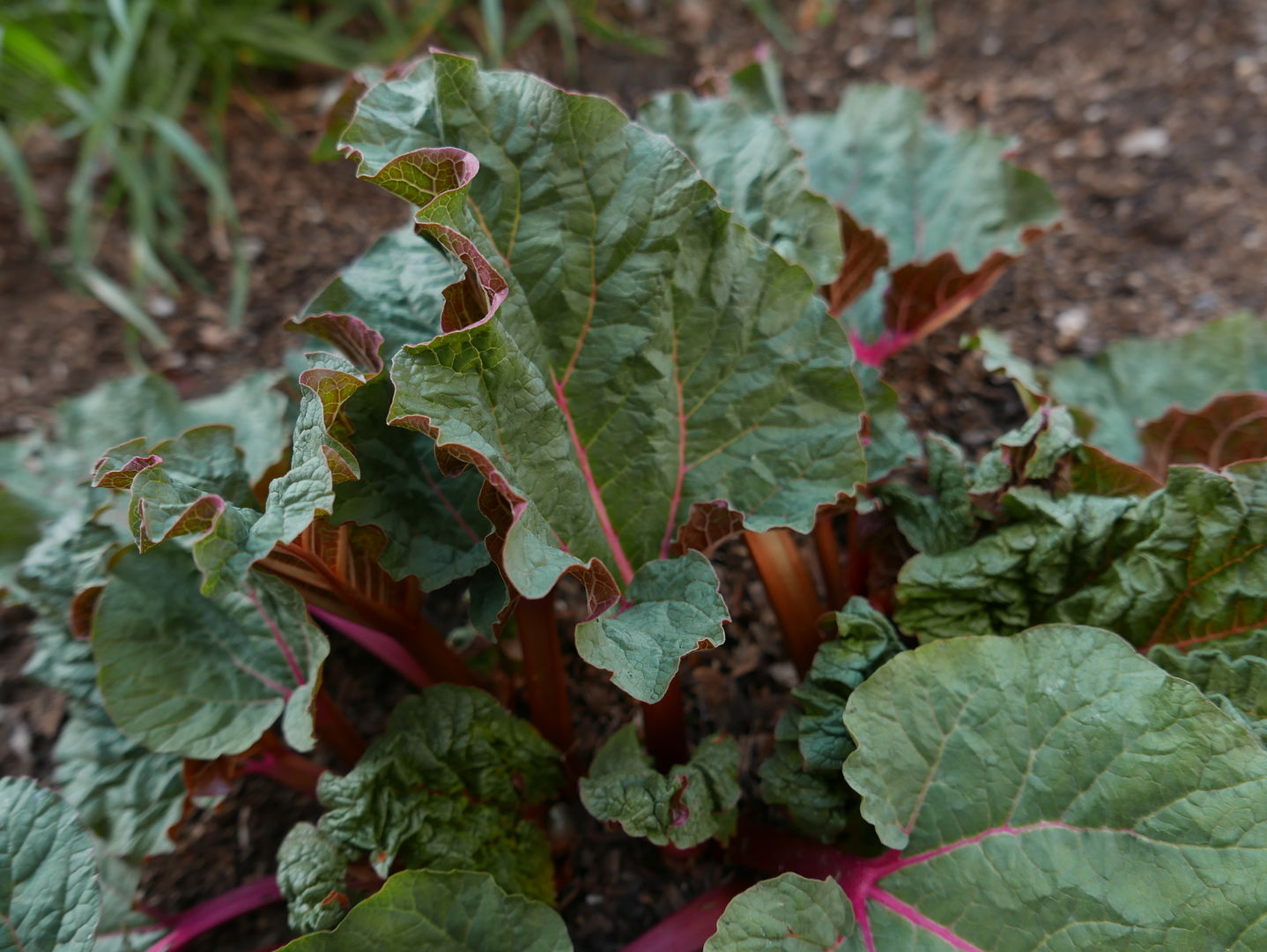 Emerging rhubarb leaves