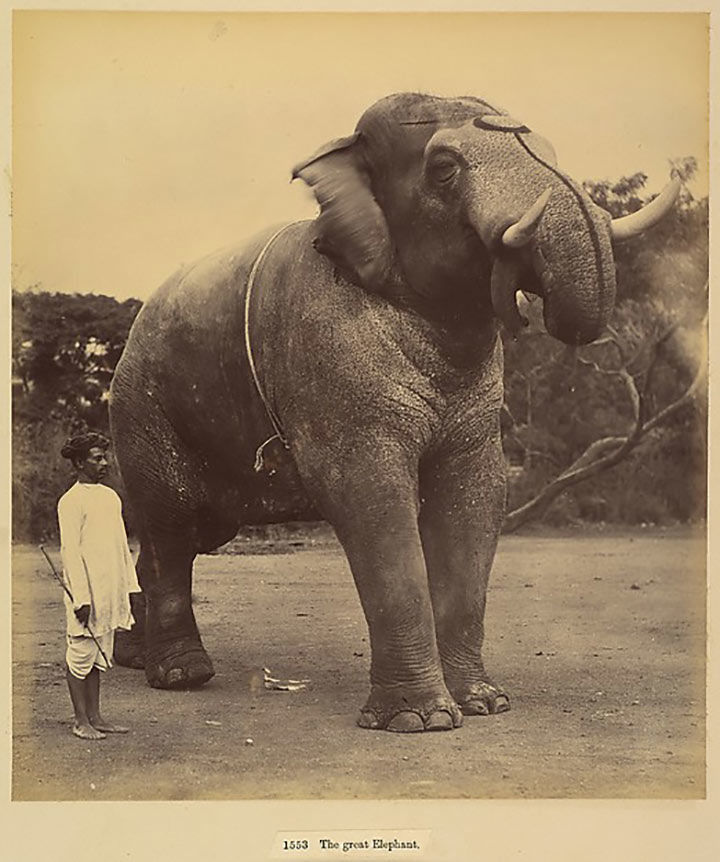 Albumen silver print photograph of a great elephant, circa 1885