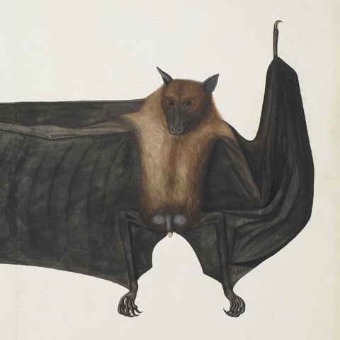 Painting of a fruit bat