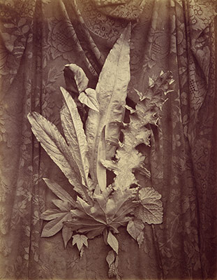 [Study of Leaves on a Background of Floral Lace]