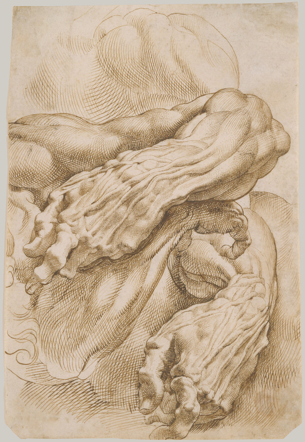 Anatomical Studies: A Left Forearm in Two Positions and a Right Forearm