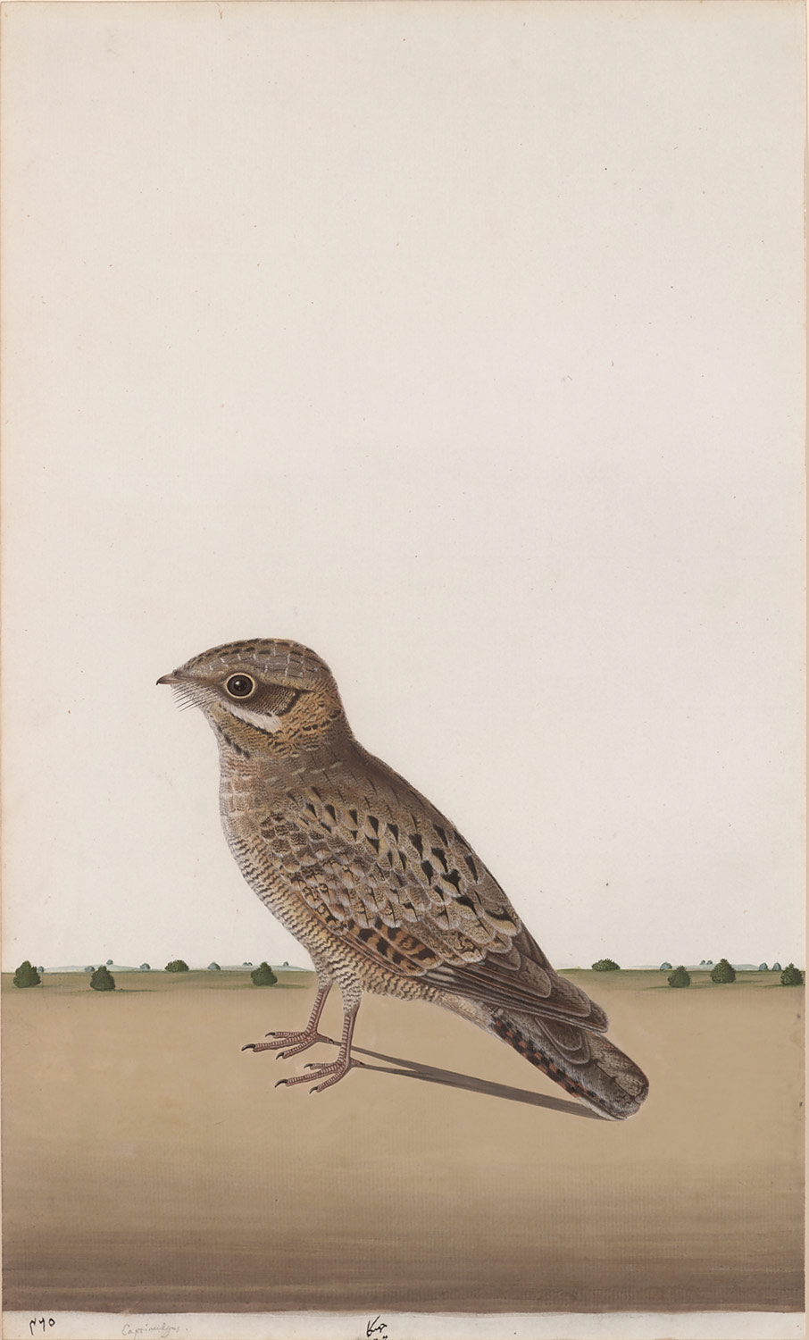 A Common Indian Nightjar (Caprimulgus asiaticus)