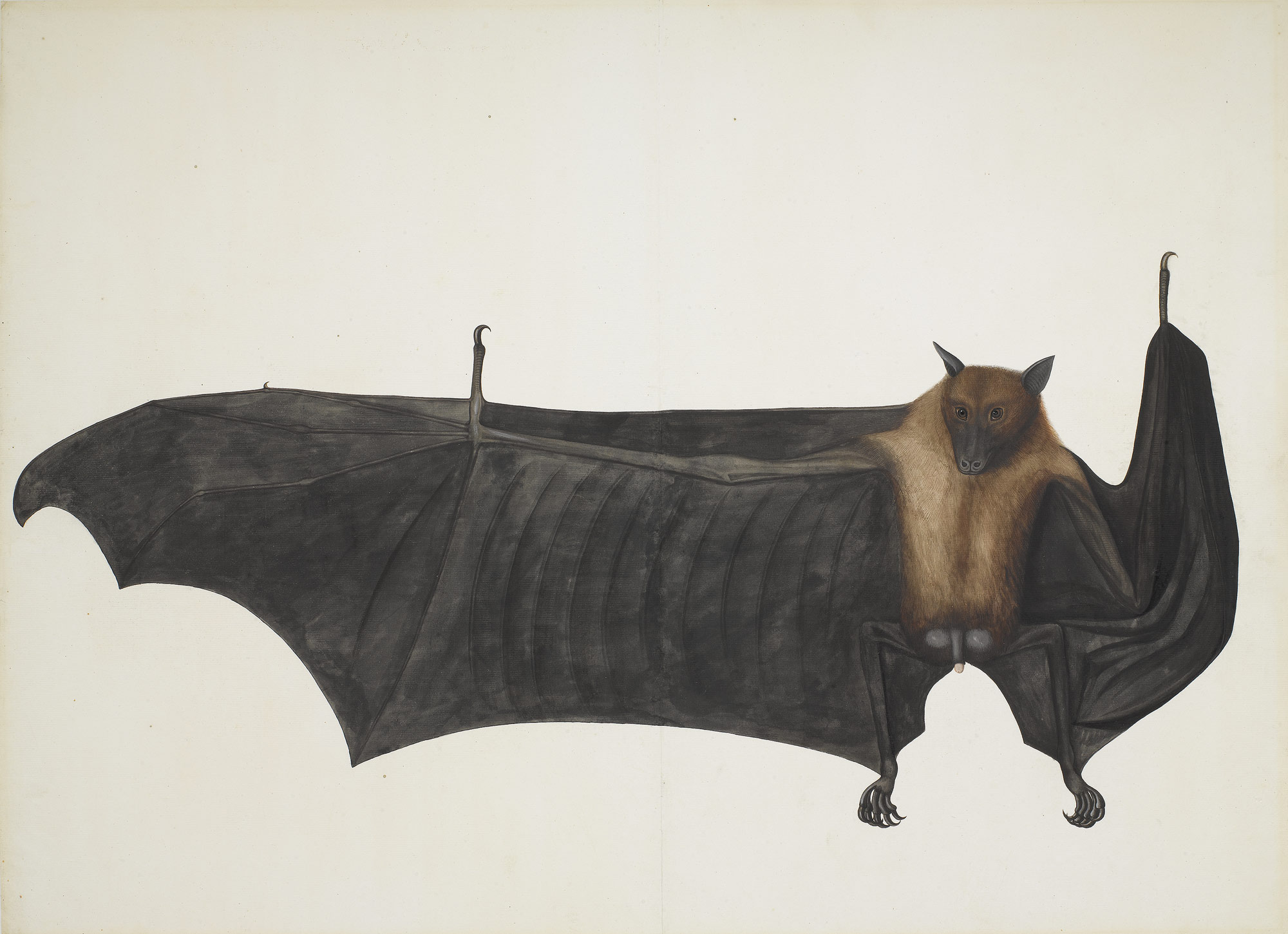 Great Indian Fruit Bat