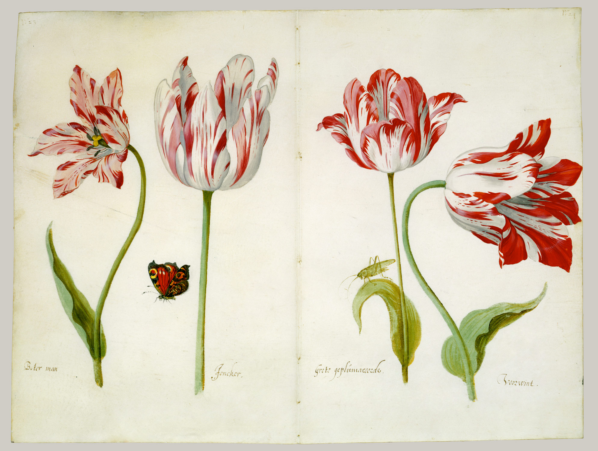 Four Tulips:  Boter man (Butter Man), Joncker (Nobleman), Grote geplumaceerde (The Great Plumed One), and Voorwint (With the Wind)